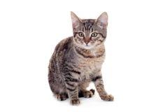 Thin adult tabby cat Royalty Free Stock Photos