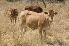 Thin African cow Stock Photography