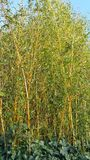 Thin bamboo plants Stock Image