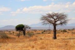 Thin baobab tree in African savanna stock photography