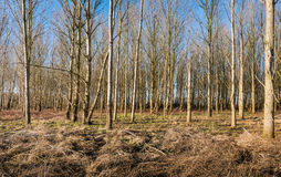Thin bare trees in a forest in wintertime Royalty Free Stock Photos