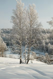 Thin birches in deep snow on the background of winter forest Stock Photos