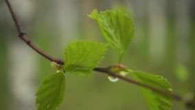 Thin branch of a birch with raindrops. Slow motion. A thin branch of a birch with raindrops on leaves sway in the wind. Slow motion stock footage