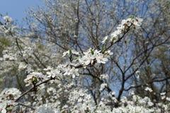 Thin branch of blossoming Prunus cerasifera in spring. Thin branch of blossoming Prunus cerasifera tree in spring royalty free stock photo