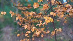 Thin branches of birch with yellow dry leaves tremble in the Quiet wind in the Park on an autumn day. Thin branches of birch with dry yellow leaves tremble in stock video
