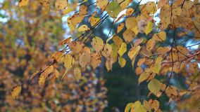 Thin branches of birch with yellow dry leaves tremble in the Quiet wind in the Park on an autumn day. Thin branches of birch with dry yellow leaves tremble in stock video footage