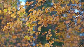 Thin branches of birch with yellow dry leaves tremble in the Quiet wind in the Park on an autumn day. Thin branches of birch with dry yellow leaves tremble in stock footage