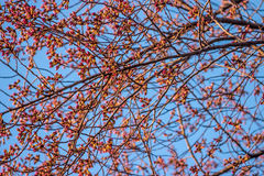 Young Cherry Buds against Blue Sky Royalty Free Stock Image