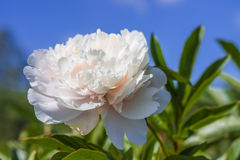 Thin bright spring peony flower on a background of blue sky Royalty Free Stock Photography