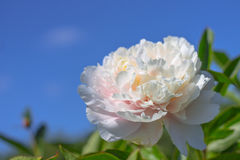 Thin bright spring peony flower on a background of blue sky Royalty Free Stock Images