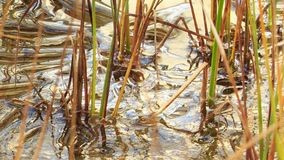 Thin crust of ice. On the grass by the lake on morning stock video footage