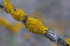 Thin dry branch with orange lichen. Xanthoria parietina  common orange lichen, yellow scale, maritime sunburst lichen and shore lichen  on the bark of tree stock photo