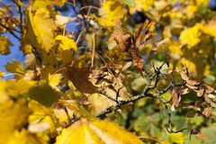 Thin dry maple seeds. And yellowed foliage during the fall foliage, closeup in nature Stock Photography
