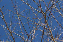 Thin elegant tree branches with deep blue sky on the background. In winter without leaves stock image