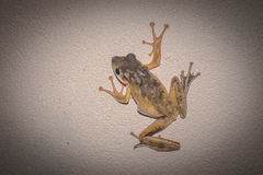 Thin Frog on the wall Royalty Free Stock Photography