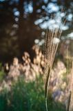 Thin, graceful spikelet in the sun. Glare and rays on a blurred background. Selective focus. Warm tone stock photos