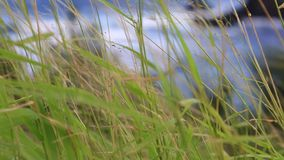 Thin grass stems blowing in wind ocean waves stock video