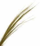 Thin Grass on White Stock Photo