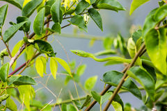 Thin green snake. Very thin green snake hiding very well among green leaves Royalty Free Stock Images