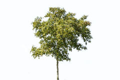 Thin green tree Royalty Free Stock Images