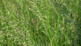 Thin growing swamp grass waved by light summer wind. Thin growing meadow swamp grass stalks waved by light summer wind on endless green dense field extreme close stock video