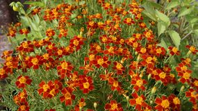 Thin-leaved marigolds - a crimson carpet of an autumn garden. royalty free stock image
