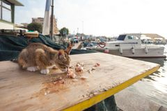 Thin little cat is eating some fish on a wooden table at the harbour stock photo