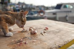 Thin little cat is eating some fish on a wooden table at the harbour royalty free stock photo