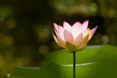 Thin petals of a lotus flower Stock Image
