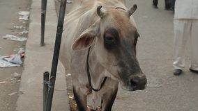 Thin poor cow crosses a street. India. Thin poor cow crosses a street. India stock video footage