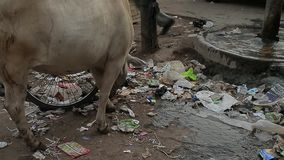 Thin poor cow eats rubbish at street. Garbage Dirt Poverty India. Thin poor cow crosses a street. India stock video footage