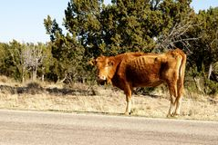 Thin Red Cow Stock Photo