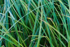 Thin sharp green grass blades texture macro stock image