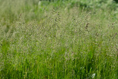 Thin stalks of grass on a green background. In Sunny weather Royalty Free Stock Photos