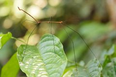 Thin stick insect royalty free stock images