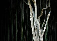 A thin tree in a bamboo forest stock photography