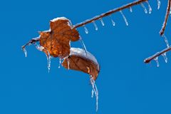 Thin Tree Branch with Icicles stock photography