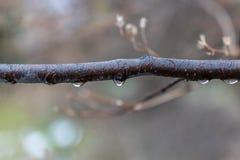 A thin tree branch on a rainy autumn day royalty free stock photos