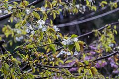 Thin tree branches covered in many small white delicate cherry blossoms stock photos