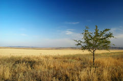 Thin tree in the steppes Royalty Free Stock Image