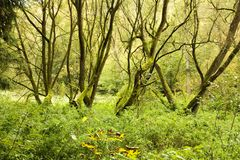 Thin tree trunks. A few thin tree trunks in a green forest Royalty Free Stock Image