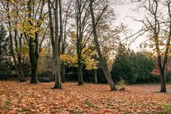 Thin trees in fall. This bare trees with a few yellowing leave clinging in fall Stock Images