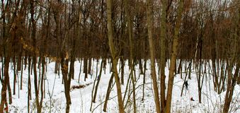Winter park with thin trees and snow royalty free stock image