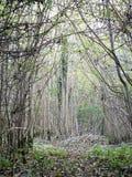 Thin Trees Royalty Free Stock Photos