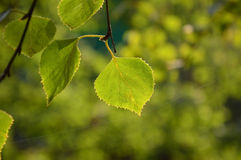 Thin web at the tip of a birch leaf. At sunset. Summer stock photos