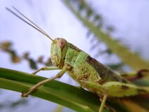 The thin wings of green grasshopper