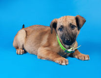 Thin yellow puppy in green collar lies on blue Stock Images