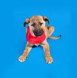 Thin yellow puppy in red bandanna sitting on blue Royalty Free Stock Image