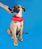 Thin yellow puppy in red bandanna sitting on blue Stock Images
