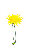 Thin yellow  Sonchus arvensis. On a white background Royalty Free Stock Photo